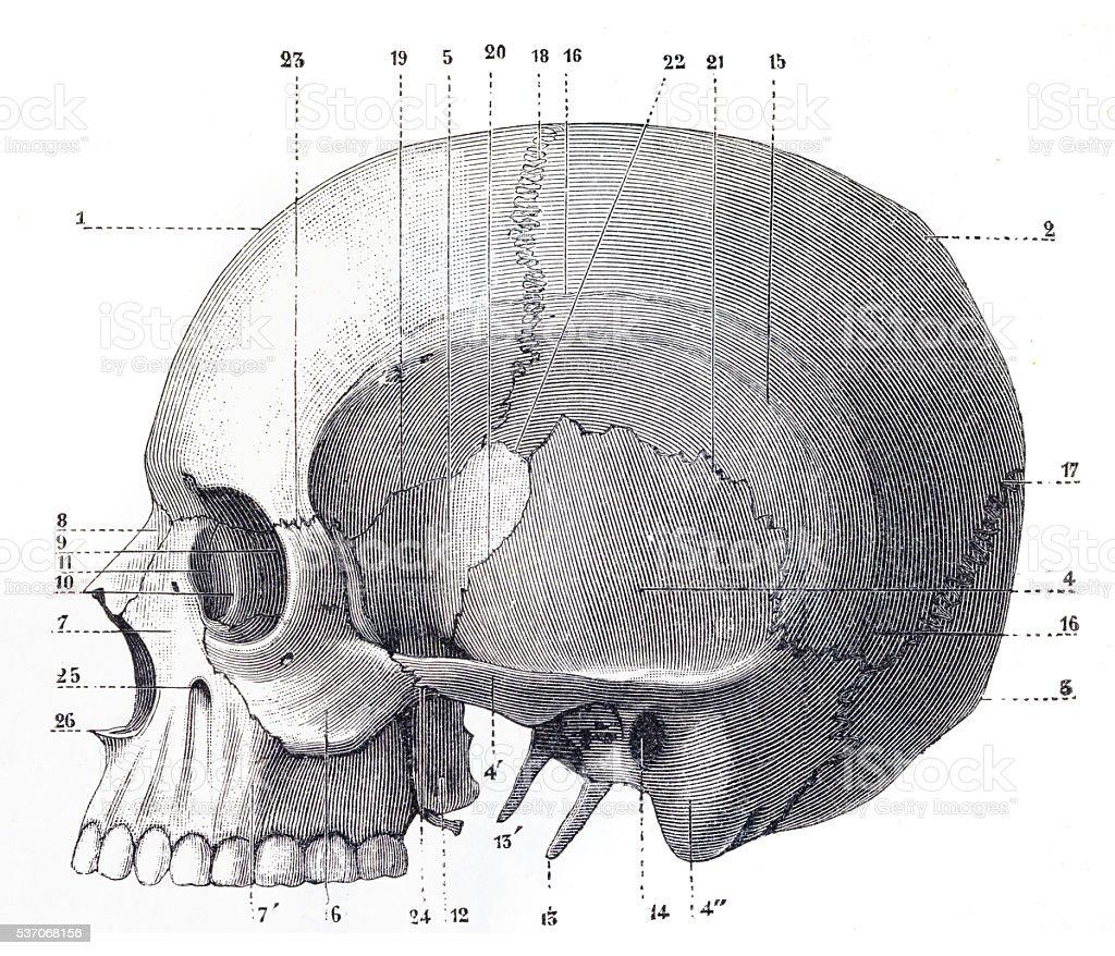 Human Skull Engraving vector art illustration
