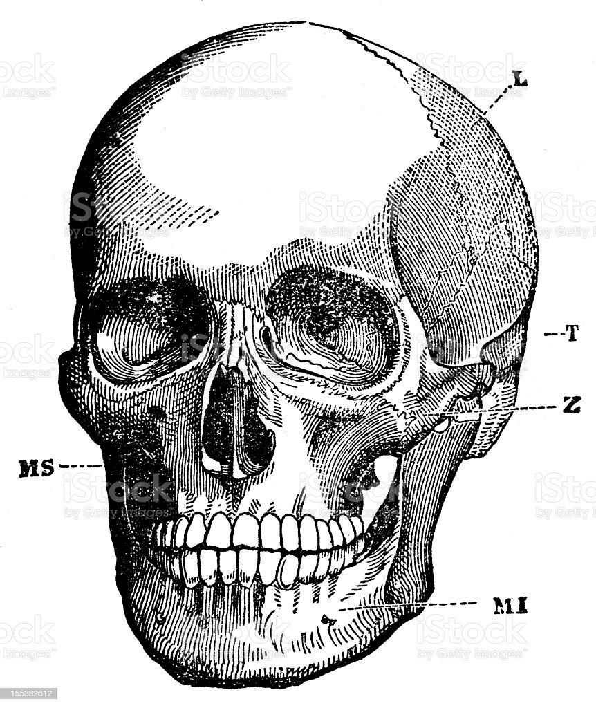 Ilustración de Cráneo Humano y más banco de imágenes de Anatomía ...