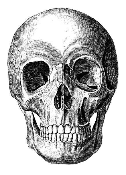Human Schädel – Vektorgrafik