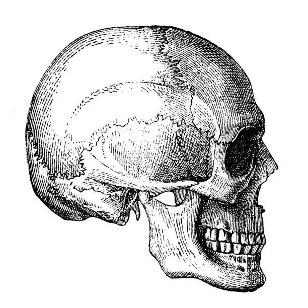 Human Skull vector art illustration