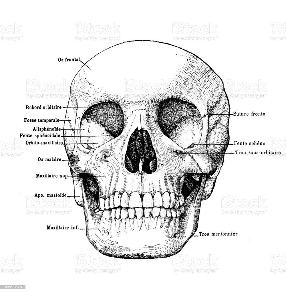 Ilustración de Cráneo Humano Con Etiquetas y más banco de imágenes ...