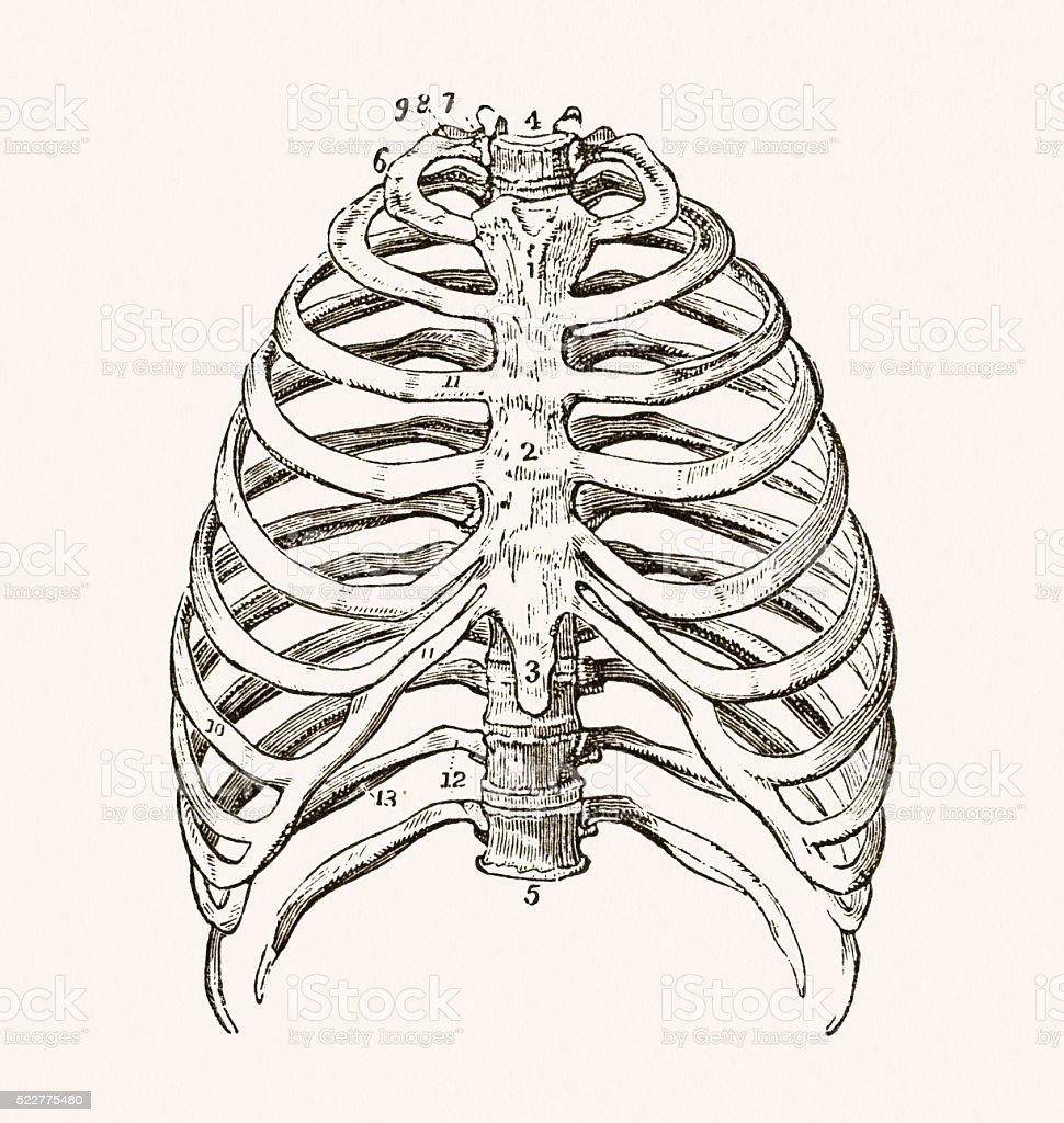Human Thorax 19 century medical illustration vector art illustration