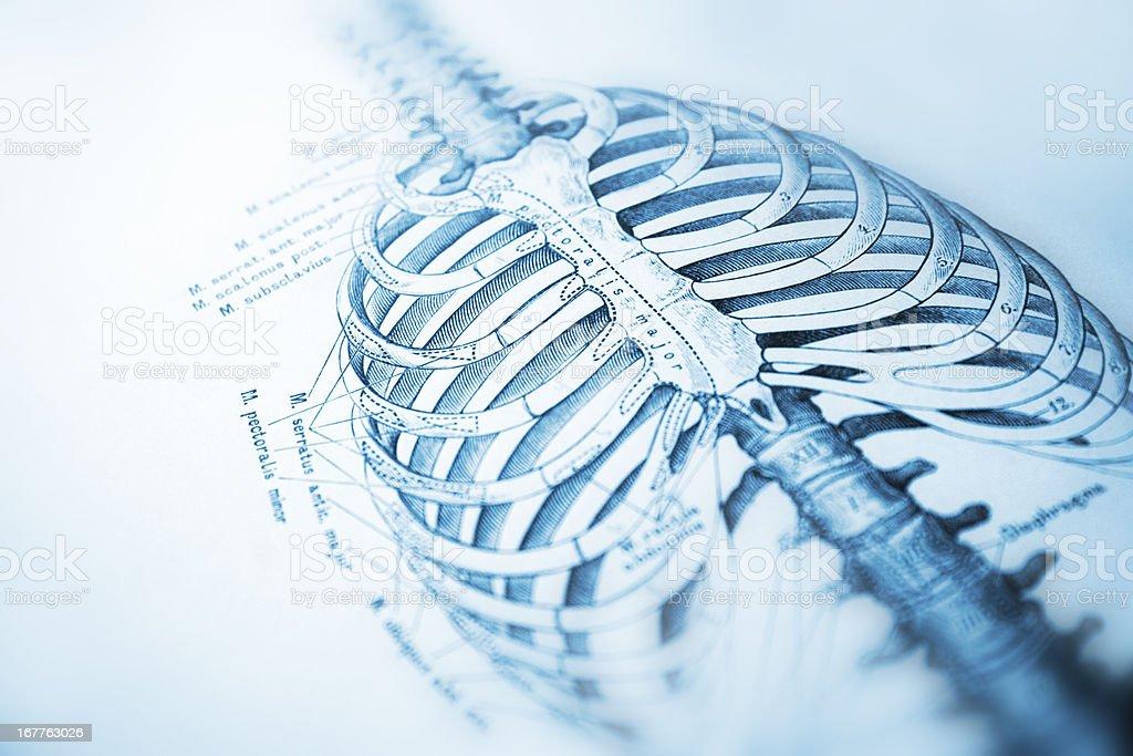Human thorax vector art illustration
