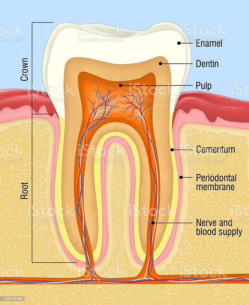 Tooth Enamel Diagram House Wiring Diagram Symbols