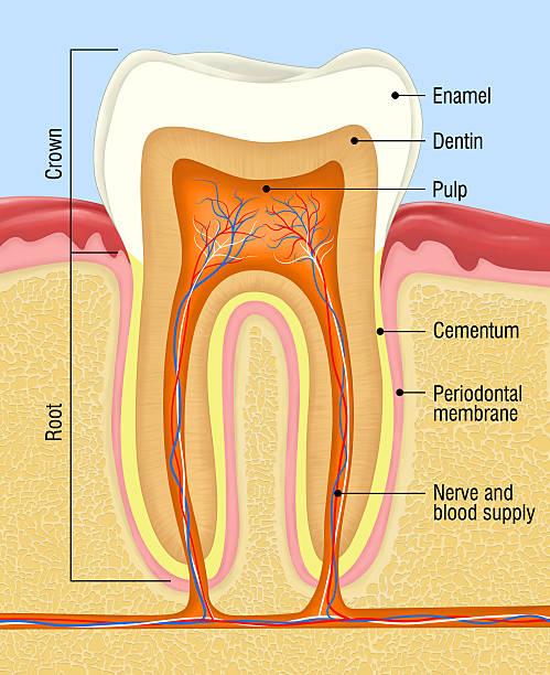 stockillustraties, clipart, cartoons en iconen met human tooth - dentine