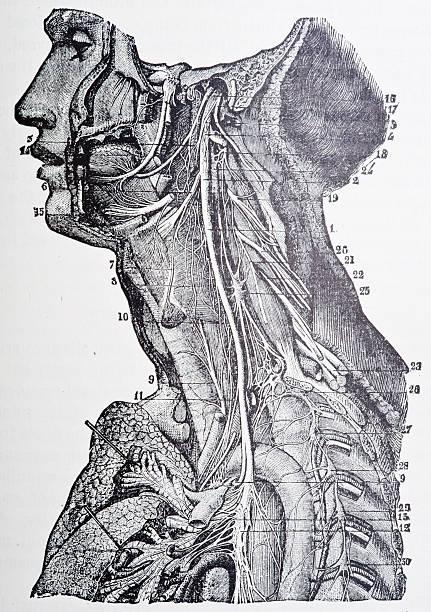 Human Vascular System http://thebrainstormlab.com/banners/ami_banner.jpg medical diagrams stock illustrations