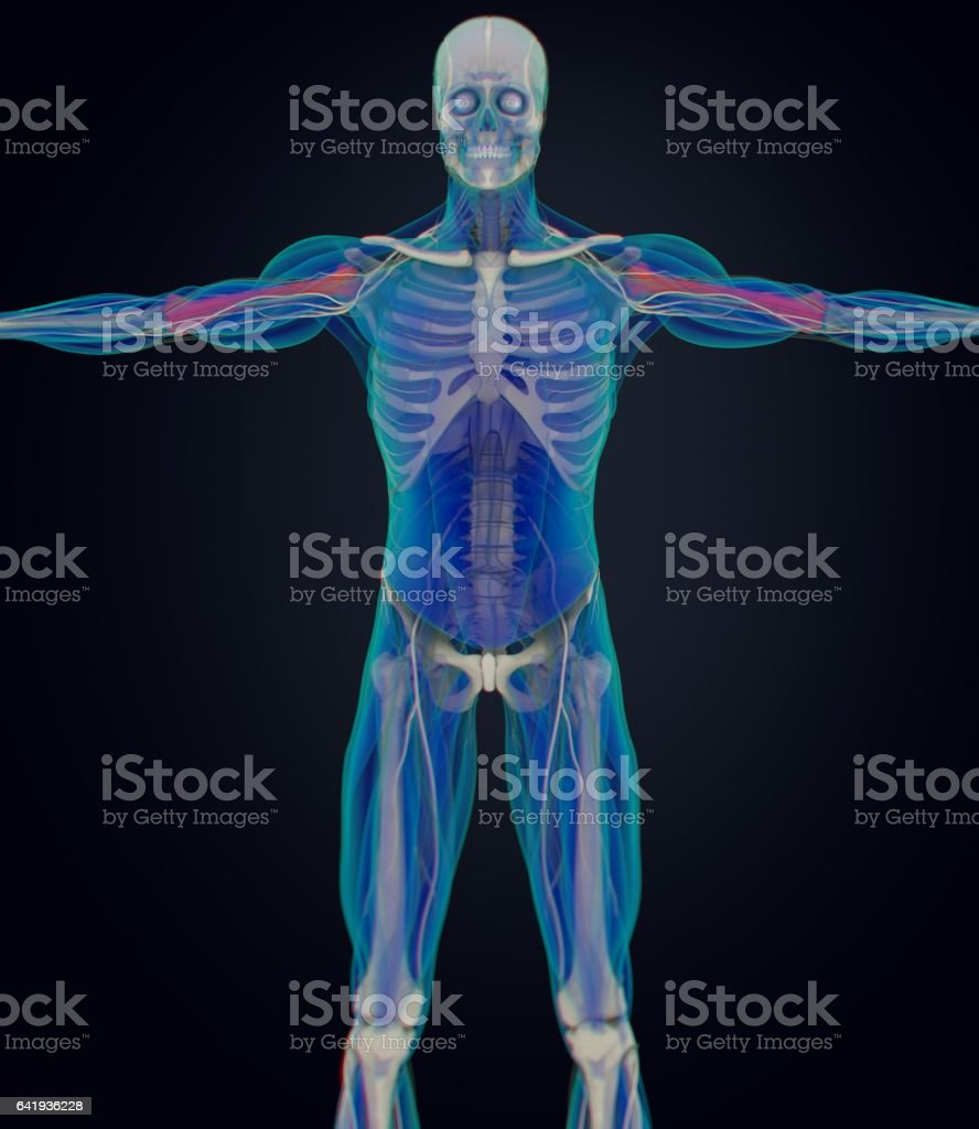 Humerus Bone Human Anatomy Skeletal System 3d Illustration Stock