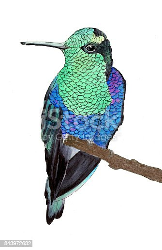Hummingbird. Hand-drawn tropical bird - colibri on the white background. Real watercolor illustration