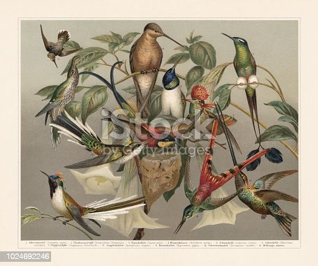 Hummingbirds (Trochilinae): 1) White-tipped sicklebill (Eutoxeres aquila); 2) Ecuadorian hillstar (Oreotrochilus chimborazo); 3) Crimson topaz (Topaza pella); 4) Heliothrix aurita; 5) Tufted Coquette (Lophornis ornatus, or Lophornis ornata); 6) Horned sungem (Heliactin cornuta , or Heliactinus cornutus); 7) Booted racket-tail Ecuador (Ocreatus underwoodii, or Steganurus Underwoodi); 8) Red-tailed comet (Sappho sparganurus, or Sparganura Sappho); 9) Giant hummingbird (Patagona gigas, or Hypermetra gigas); 10) Sword-billed hummingbird (Ensifera ensifera, or Docimastes ensifer); 11) Vervain hummingbird (Mellisuga minima). Chromolithograph, published in 1897.