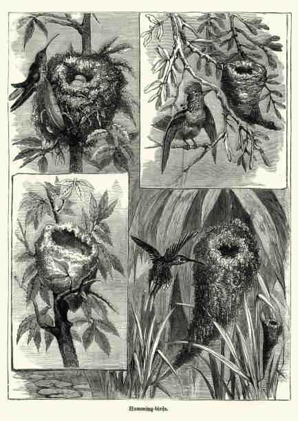 Hummings birds, 19th Century vector art illustration