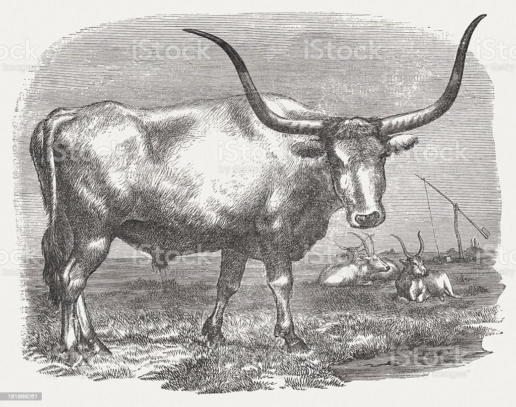 Hungarian grey cattle, wood engraving, published in 1875 vector art illustration