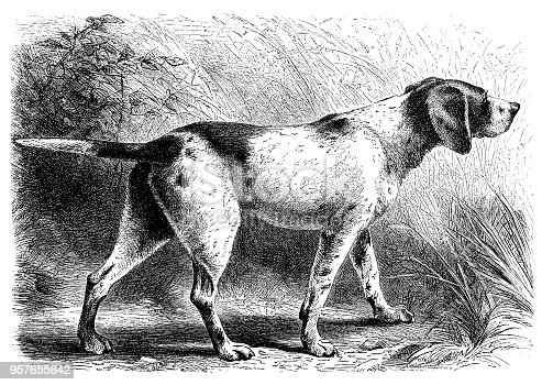 Illustration of a Hunting pointer dog