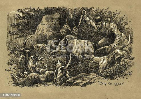 Vintage engraving of Hunting wild boar with dogs, boar surrounded by pack of hunting hounds while the hunter finishes off the boar with a dagger, Victorian 19th Century. Coup de grace
