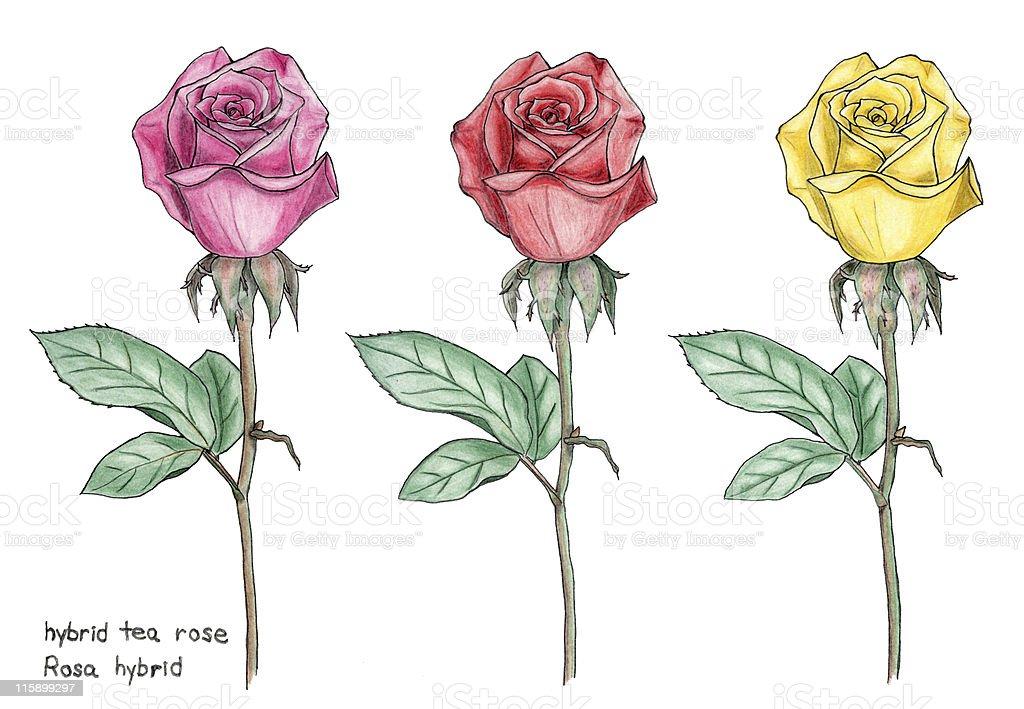 Tea Ibrida Rose Botanico Disegno A Matita Colorata - Immagini ...