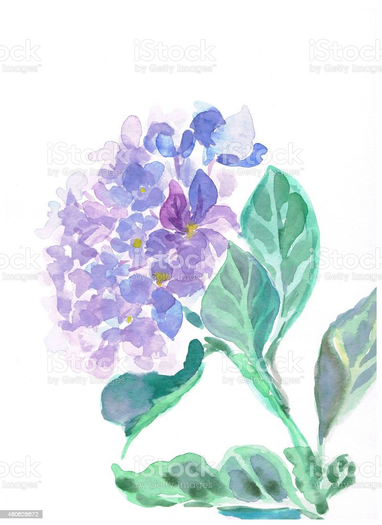 hydrangea vector art illustration