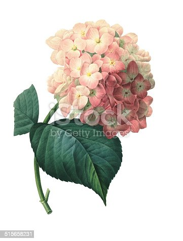 High resolution illustration of a hortensia, isolated on white background. Engraving by Pierre-Joseph Redoute. Published in Choix Des Plus Belles Fleurs, Paris (1827).