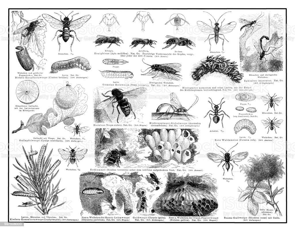 Ilustración de Himenópteros Un Gran Orden De Insectos Que Incluye A ...