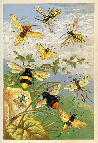 Hymenopterans