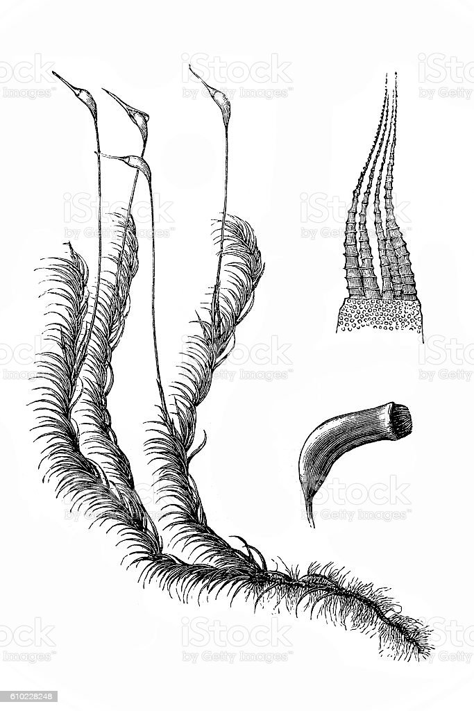 Hypnum cuspidatum vector art illustration
