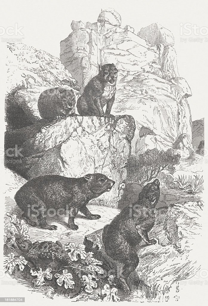 Hyrax (Procavia capensis), wood engraving, published in 1875 royalty-free stock vector art