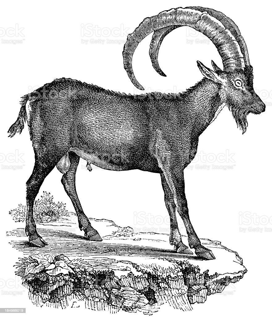 Ibex royalty-free stock vector art