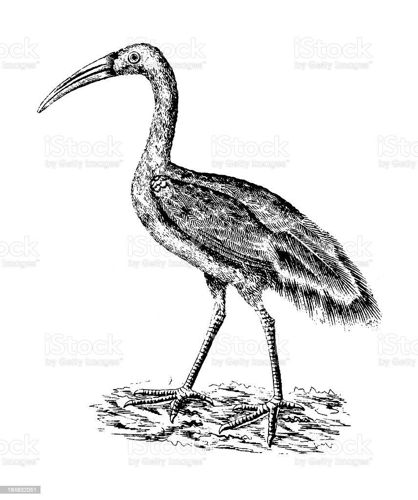 Ibis   Antique Bird Illustrations royalty-free stock vector art