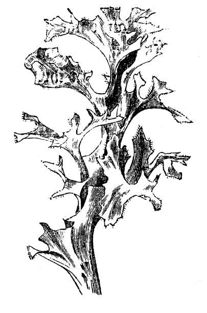 Iceland moss (Cetraria islandica) Illustration of a  Iceland moss (Cetraria islandica) moss stock illustrations