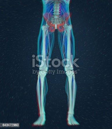 Ilium Knochen Menschliche Anatomie 3d Illustration Stock Vektor Art ...