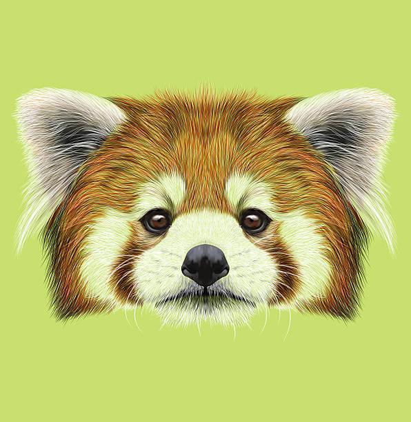 Best Red Panda Head Illustrations Royalty Free Vector