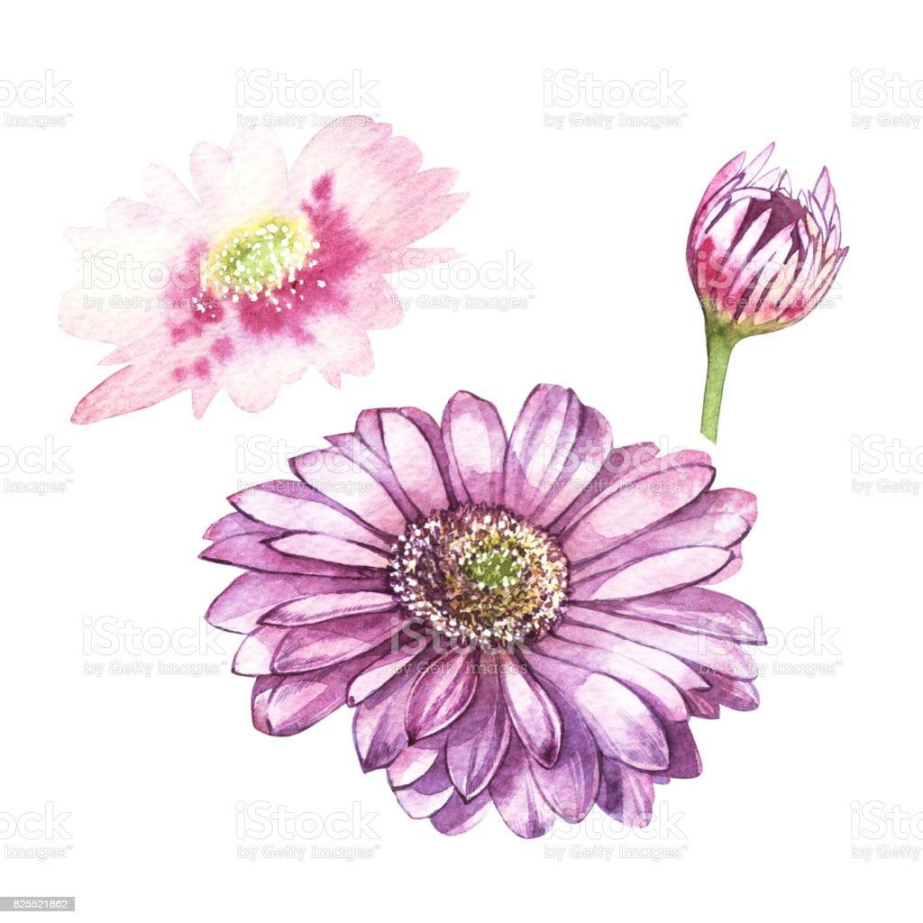 Illustration in watercolor of Gerbera flower. Floral card with flowers. Botanical illustration. vector art illustration