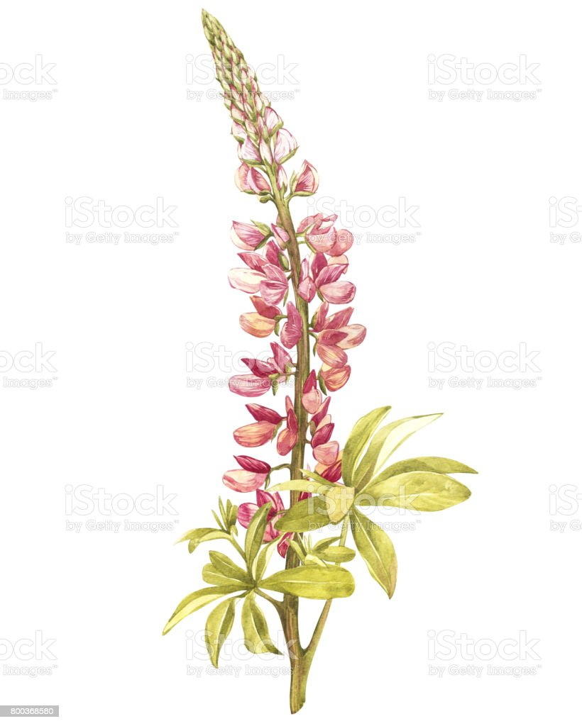 Illustration in watercolor of Lupine flower. Floral card with flowers. Botanical illustration. vector art illustration
