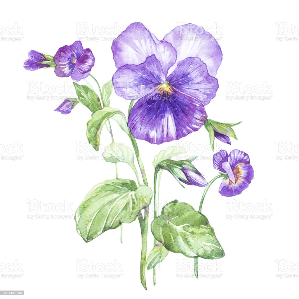 Illustration in watercolor of Pansy flower. Floral card with flowers. Botanical illustration. vector art illustration