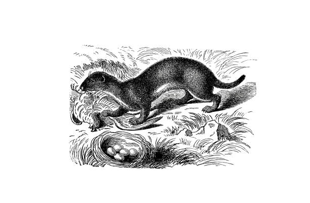 Illustration of a Ermine in popular encyclopedia from 1890 Illustrations from the popular encyclopedia ermine stock illustrations