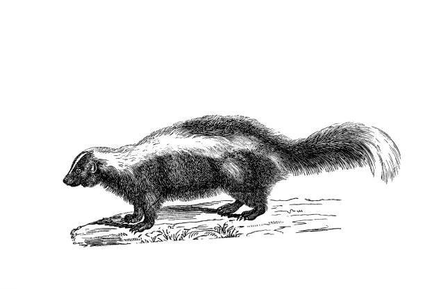 Illustration of a Skunk in popular encyclopedia from 1890 Illustrations from the popular encyclopedia skunk stock illustrations