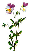Illustration of a Viola tricolor, also known as Johnny Jump up , heartsease, heart's ease, heart's delight, tickle-my-fancy, Jack-jump-up-and-kiss-me, come-and-cuddle-me, three faces in a hood, or love-in-idleness
