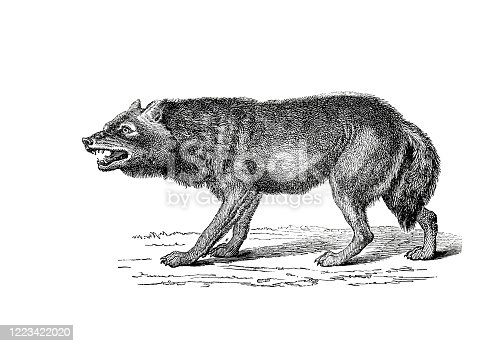 istock Illustration of a Wolf in popular encyclopedia from 1890 1223422020