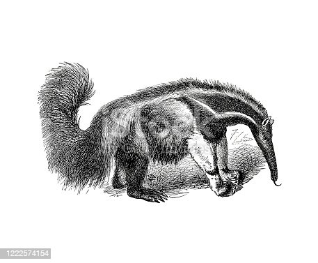 istock Illustration of an ant-eater from popular encyclopedia from 1890 1222574154