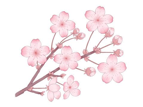 Illustration of cherry blossoms.