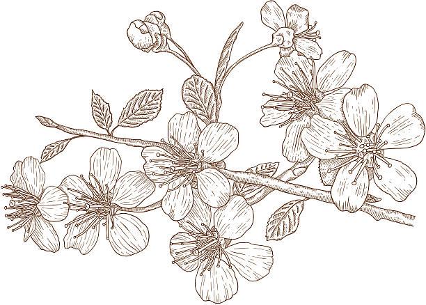 ilustrações de stock, clip art, desenhos animados e ícones de ilustração de flores de cereja - cherry blossoms