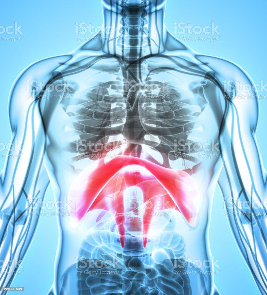 3d Illustration Of Diaphragm Medical Concept Stock Vector Art & More ...