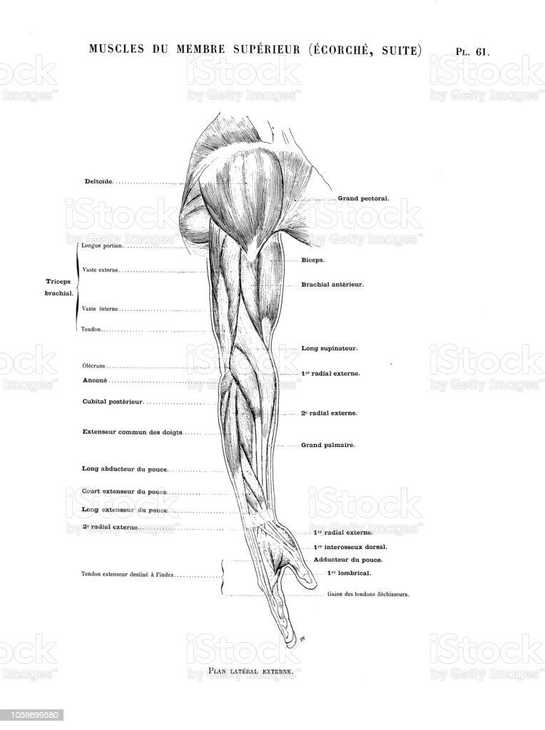 Illustration de l anatomie du corps humain du livre d art Français antique   b8ca37b1382