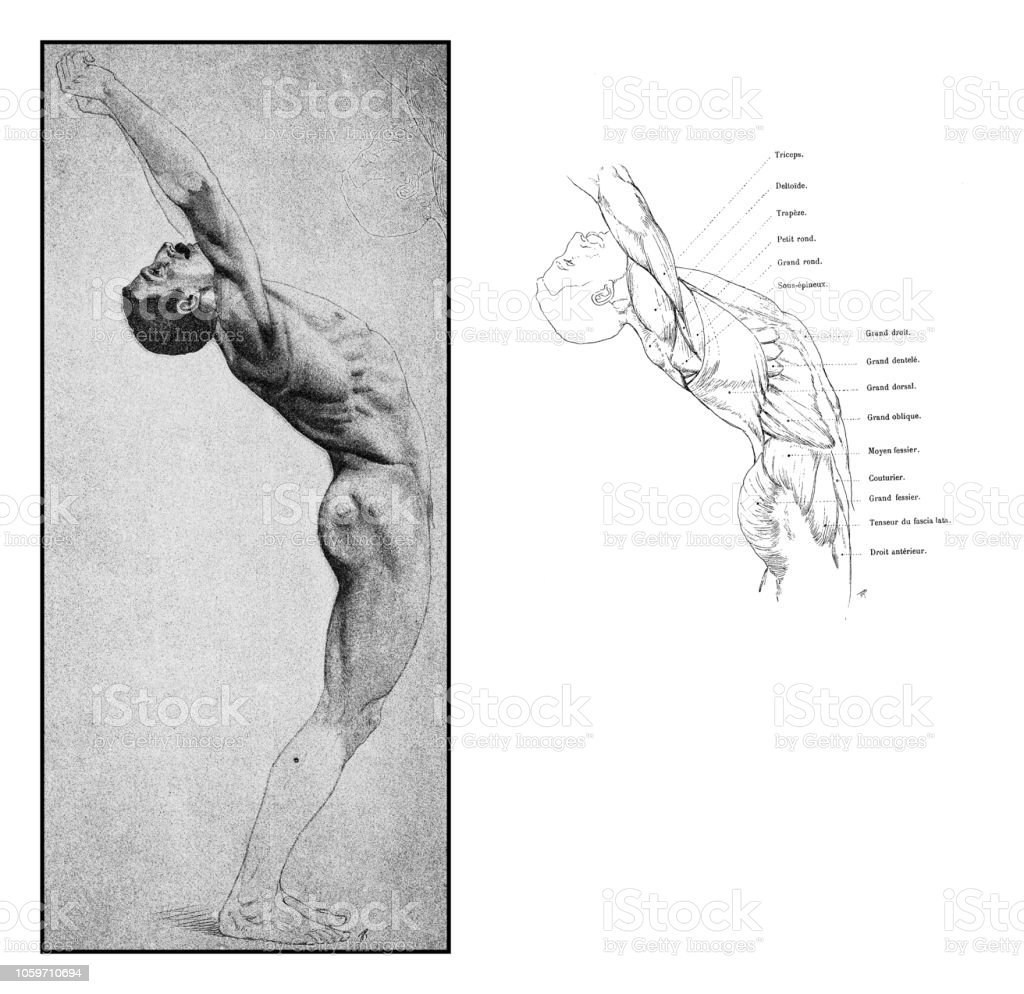 Illustration Of Human Body Anatomy From Antique French Art Book