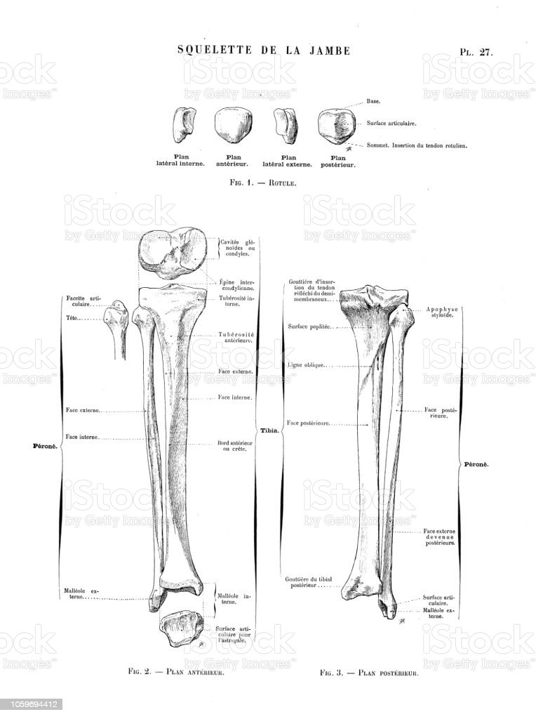 Illustration Of Human Body Anatomy From Antique French Art Book Knee
