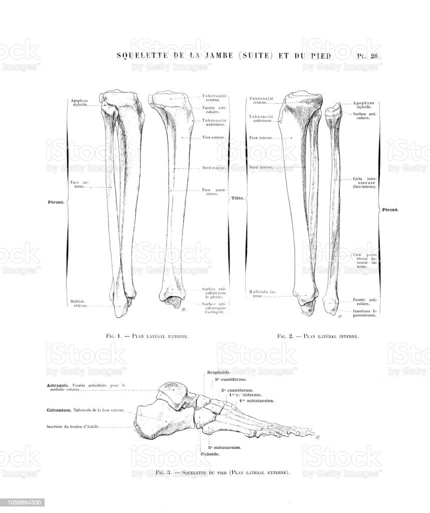 Illustration Of Human Body Anatomy From Antique French Art Book Leg