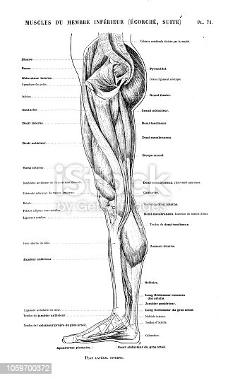 Illustration of human body anatomy from antique French art book: Leg and foot muscles