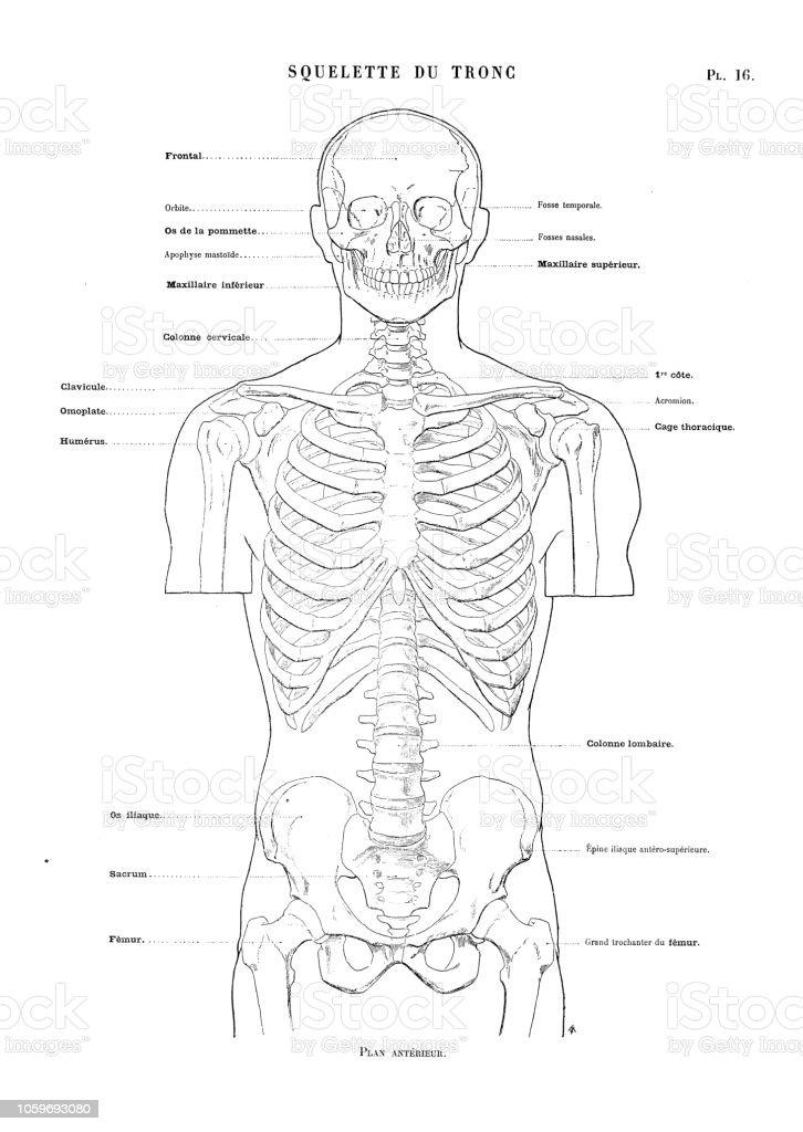 Torso Bone Diagram Wiring Diagrams Hubs