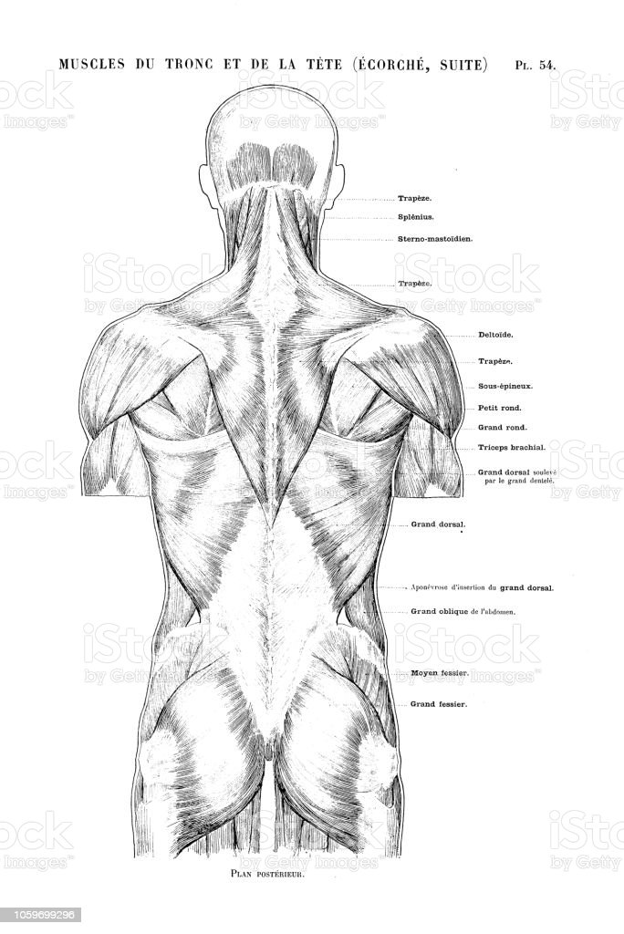 Illustration Of Human Body Anatomy From Antique French Art Book Torso And Head Muscles Stock Illustration Download Image Now Istock