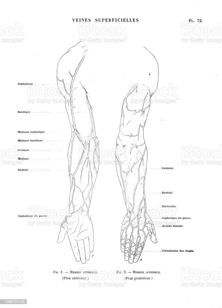 Ilustración De Ilustración De La Anatomía Del Cuerpo Humano