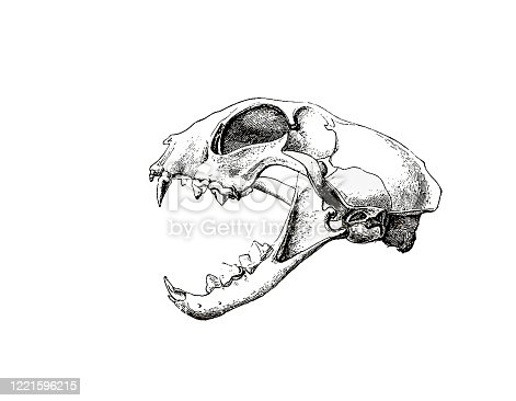 Photo of the animal skull from an old encyclopedia