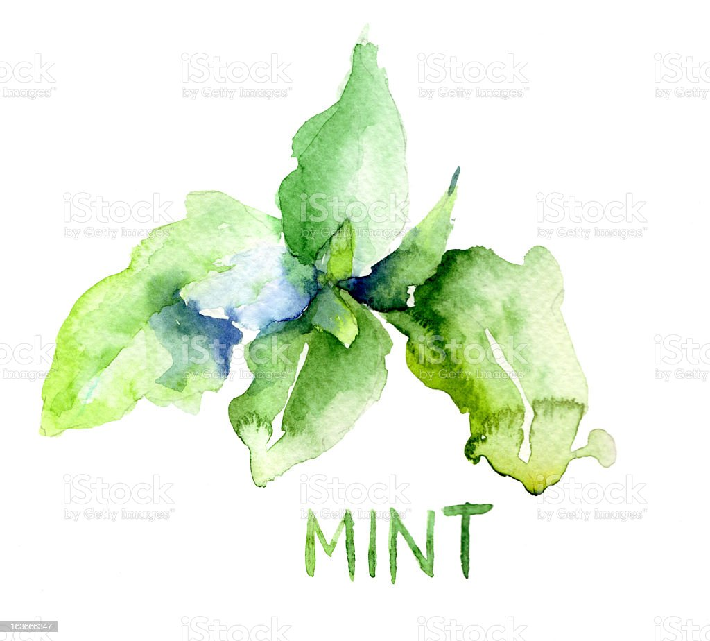 Illustration of mint leaves done in watercolor vector art illustration